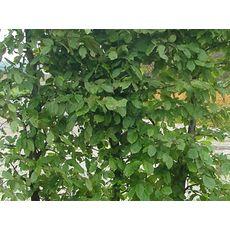 Agnbøk (Ferdighekk 150 cm +), fig. 3