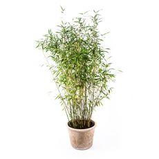 "Bambus ""Dino"", fig. 1"
