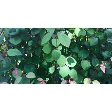 Hjertetre (Ferdighekk 125 cm+), fig. 5