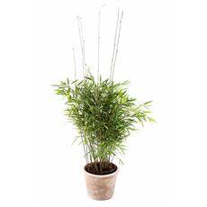 """Bambus """"Trifina"""", fig. 1"""