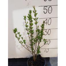 Liguster  (30 - 50 cm) i potte, fig. 1