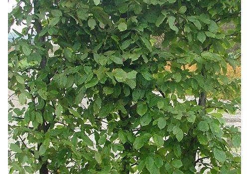 Agnbøk (Ferdighekk 150 cm +), fig. 2