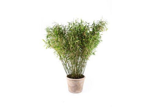 """Bambus """"Jumbo"""", fig. 1"""