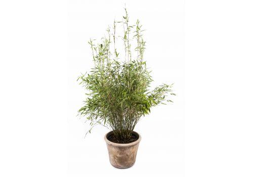 "Bambus ""Simba"", fig. 1"