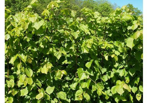 Småbladlind (Ferdighekk 150 cm), fig. 3