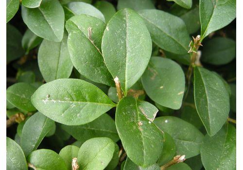 Vinterliguster ( 40 - 100 cm), fig. 3